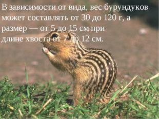 В зависимости от вида, вес бурундуков может составлять от 30 до 120 г, а раз