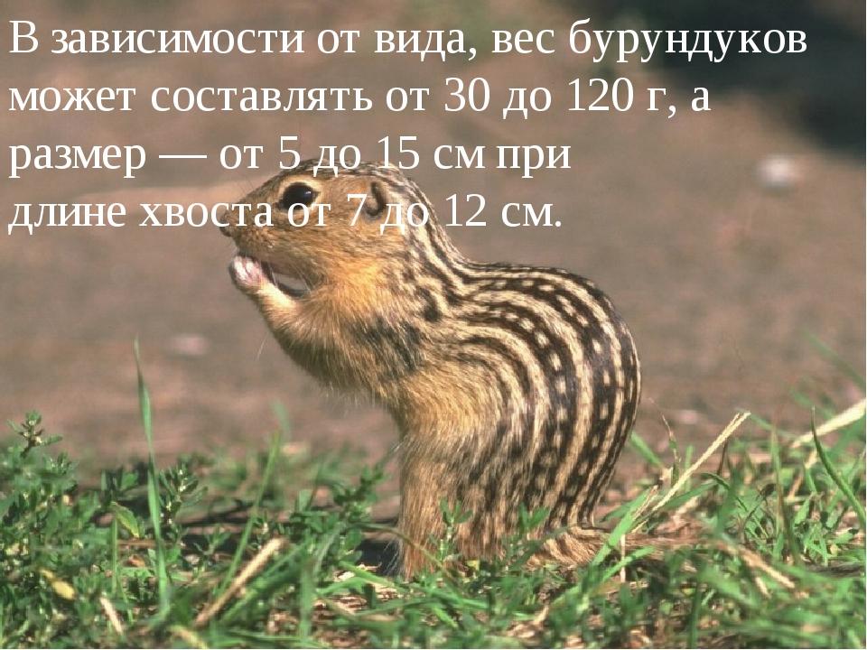 В зависимости от вида, вес бурундуков может составлять от 30 до 120 г, а раз...