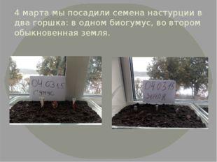 4 марта мы посадили семена настурции в два горшка: в одном биогумус, во второ