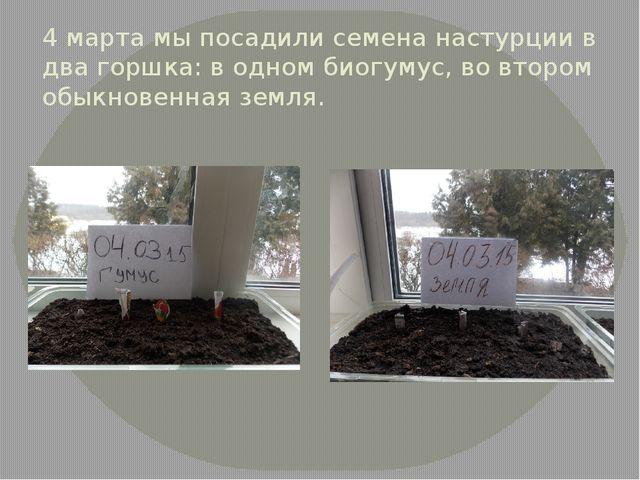 4 марта мы посадили семена настурции в два горшка: в одном биогумус, во второ...