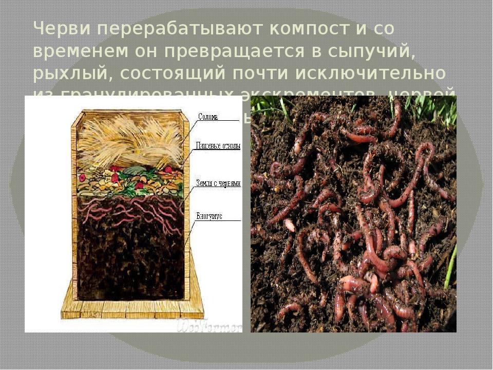 Черви перерабатывают компост и со временем он превращается в сыпучий, рыхлый,...