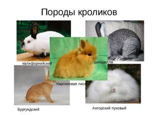 Породы кроликов калифорнийский шиншилла Бургундский Ангорский пуховый Карлико