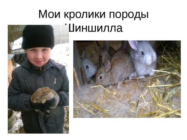 Мои кролики породы Шиншилла
