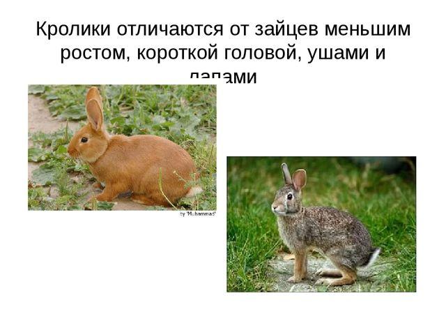 Кролики отличаются от зайцев меньшим ростом, короткой головой, ушами и лапами