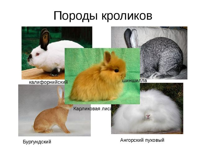 Породы кроликов калифорнийский шиншилла Бургундский Ангорский пуховый Карлико...