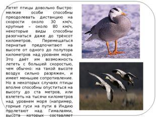 Летят птицы довольно быстро: мелкие особи способны преодолевать дистанцию на