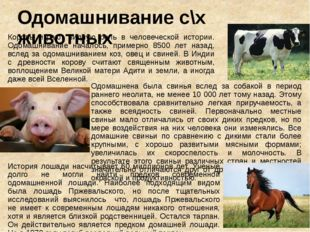 Одомашнивание с\х животных Коровы играют видную роль в человеческой истории.