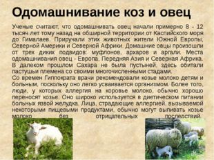 Одомашнивание коз и овец Ученые считают, что одомашнивать овец начали примерн