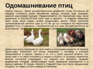 Одомашнивание птиц Курица Курица - самая распространенная домашняя птица. Осн