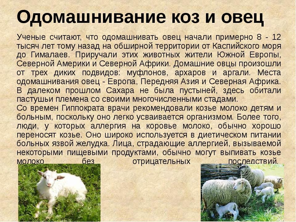 Одомашнивание коз и овец Ученые считают, что одомашнивать овец начали примерн...