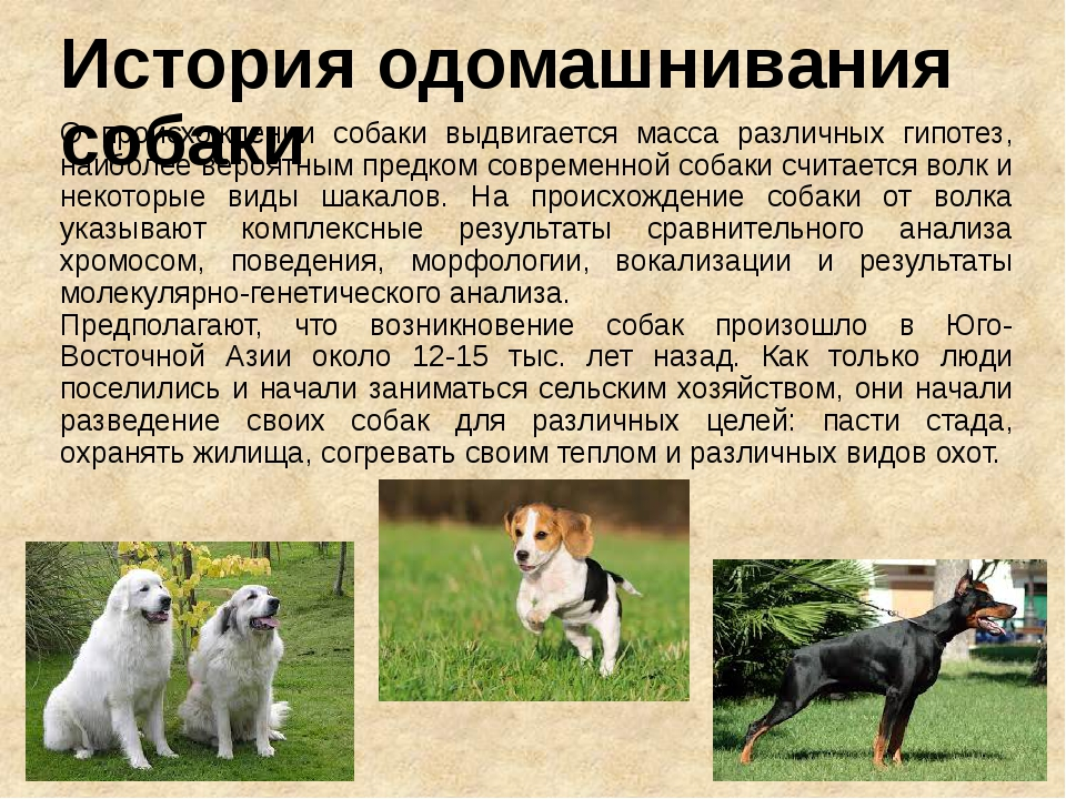 История одомашнивания собаки О происхождении собаки выдвигается масса различн...
