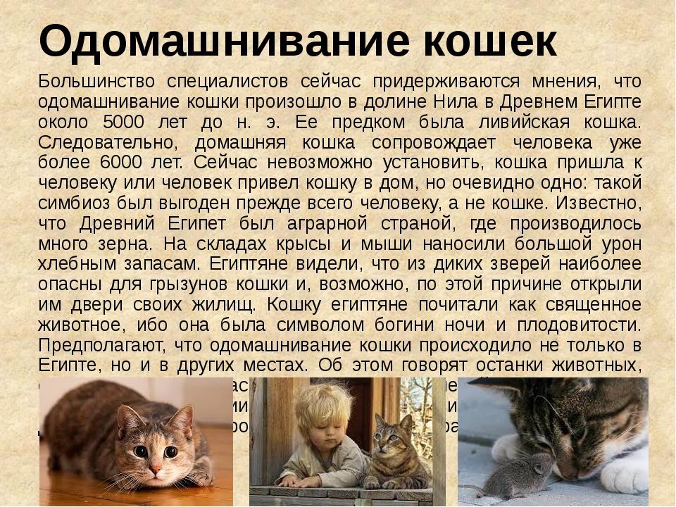 Одомашнивание кошек Большинство специалистов сейчас придерживаются мнения, чт...