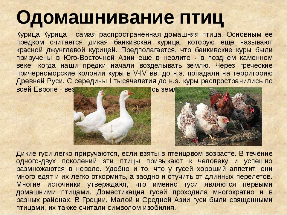 Одомашнивание птиц Курица Курица - самая распространенная домашняя птица. Осн...