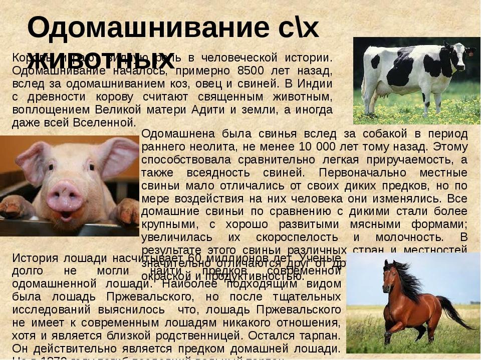 Одомашнивание с\х животных Коровы играют видную роль в человеческой истории....