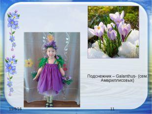 Подснежник – Galanthus- (сем. Амариллисовых)