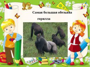 Самая большая обезьяна горилла