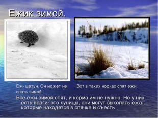 Ежик зимой. Еж- шатун. Он может не Вот в таких норках спят ежи. спать зимой.