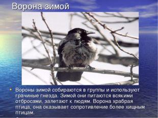 Ворона зимой Вороны зимой собираются в группы и используют грачиные гнезда.