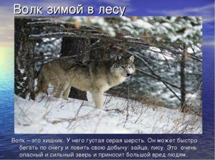 Волк зимой в лесу Волк – это хищник. У него густая серая шерсть. Он может быс