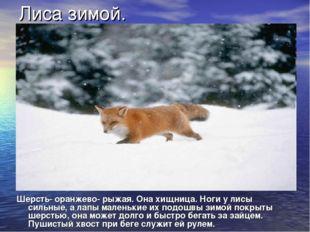 Лиса зимой. Шерсть- оранжево- рыжая. Она хищница. Ноги у лисы сильные, а лапы
