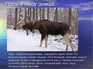 Лось в лесу зимой Лось- самый большой зверь, живущий в наших лесах. Он боль