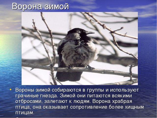 Ворона зимой Вороны зимой собираются в группы и используют грачиные гнезда....