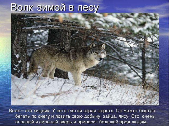 Волк зимой в лесу Волк – это хищник. У него густая серая шерсть. Он может быс...
