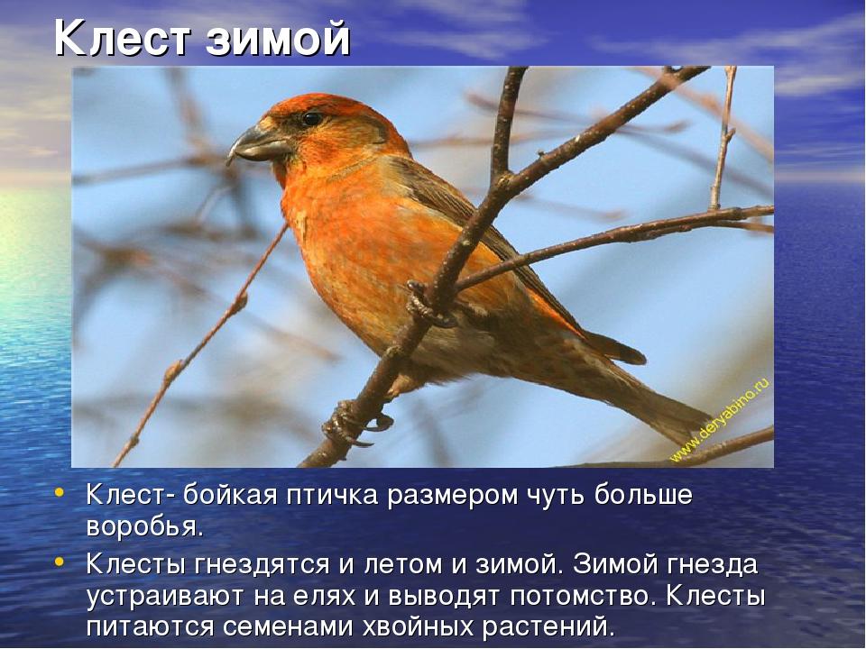 Клест зимой Клест- бойкая птичка размером чуть больше воробья. Клесты гнездят...