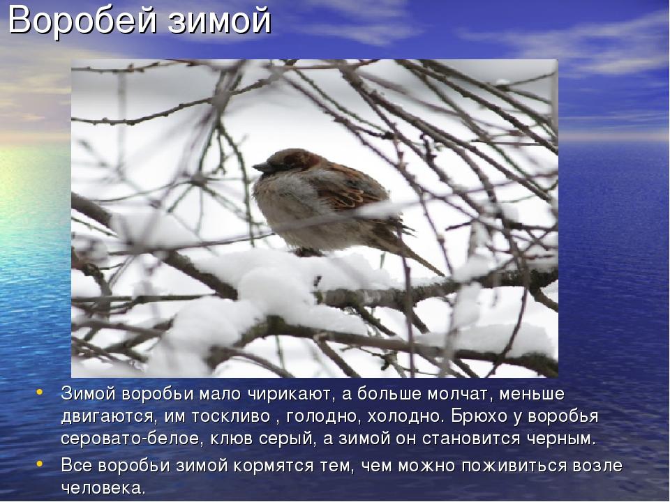 Воробей зимой Зимой воробьи мало чирикают, а больше молчат, меньше двигаются,...