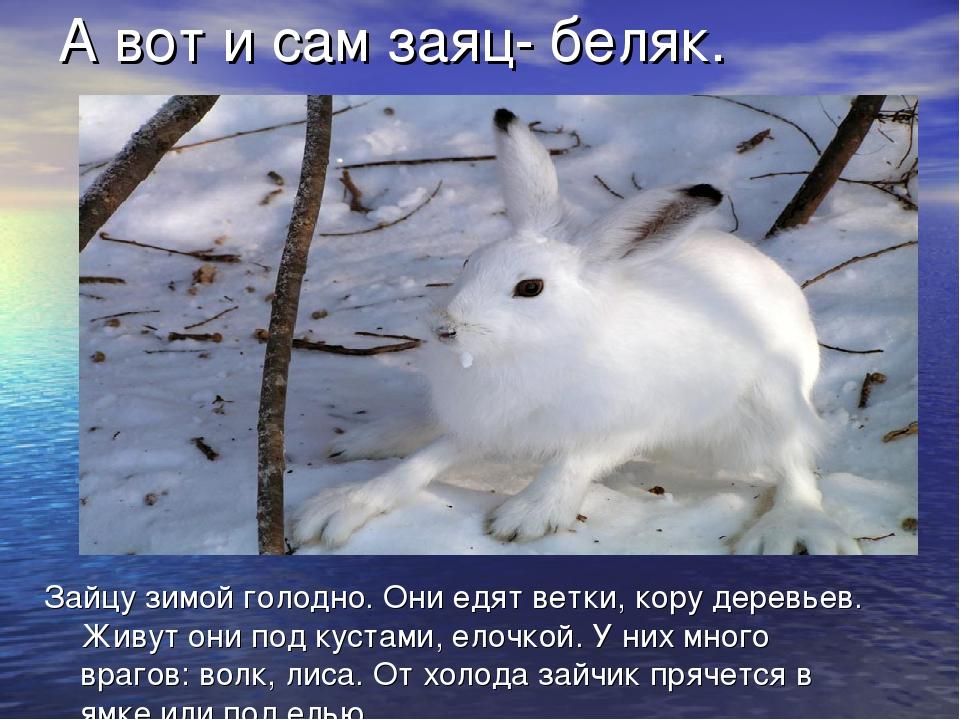 Зайцу зимой голодно. Они едят ветки, кору деревьев. Живут они под кустами, ел...