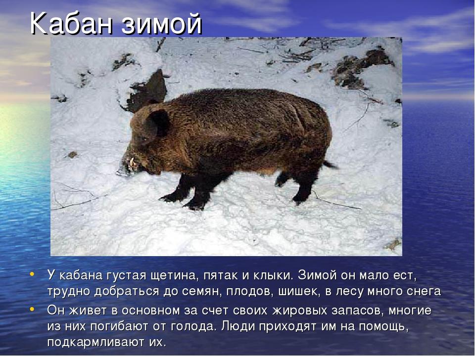 Кабан зимой У кабана густая щетина, пятак и клыки. Зимой он мало ест, трудно...