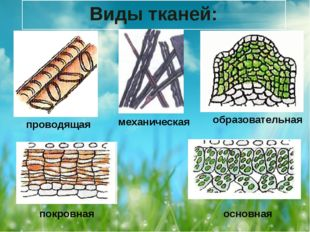 Виды тканей: проводящая механическая образовательная покровная основная