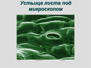 Устьице листа под микроскопом