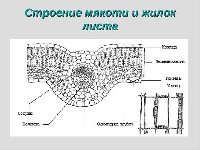 Строение мякоти и жилок листа