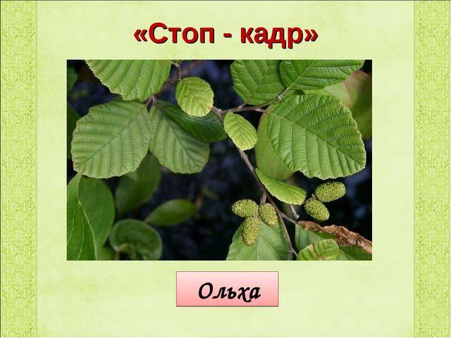 «Стоп - кадр» Ольха