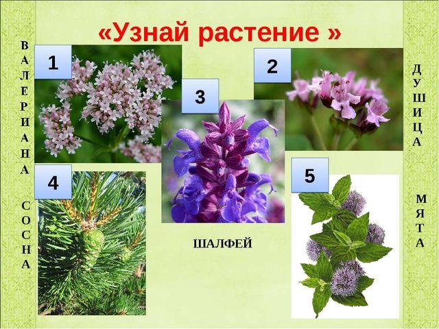 «Узнай растение » ДУШИЦА МЯТА СОСНА ШАЛФЕЙ 1 2 3 4 5