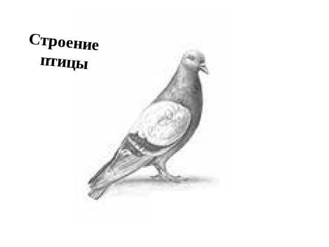 ←ГОЛОВА ШЕЯ→ ←КЛЮВ ←ТУЛОВИЩЕ ХВОСТ→ ←НОГИ Строение птицы ГОЛУБЬ