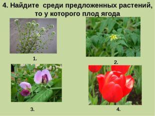 4. Найдите среди предложенных растений, то у которого плод ягода 1. 3. 2. 4.