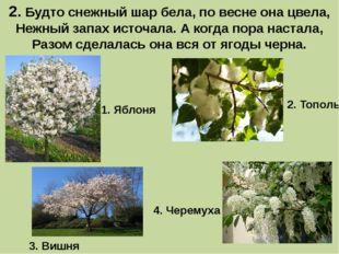 2. Будто снежный шар бела, по весне она цвела, Нежный запах источала. А когда