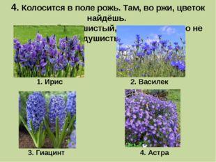 4. Колосится в поле рожь.Там, во ржи, цветок найдёшь. Ярко-синий и пушистый
