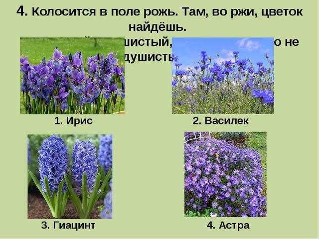 4. Колосится в поле рожь.Там, во ржи, цветок найдёшь. Ярко-синий и пушистый...