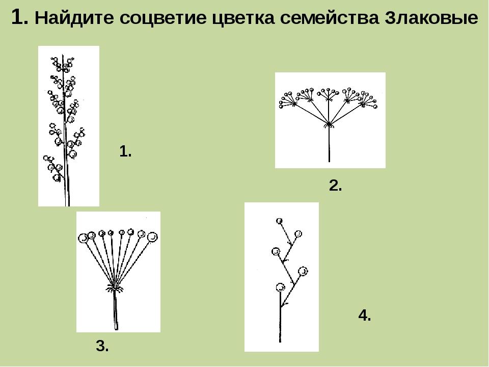 1. Найдите соцветие цветка семейства Злаковые 1. 3. 2. 4.