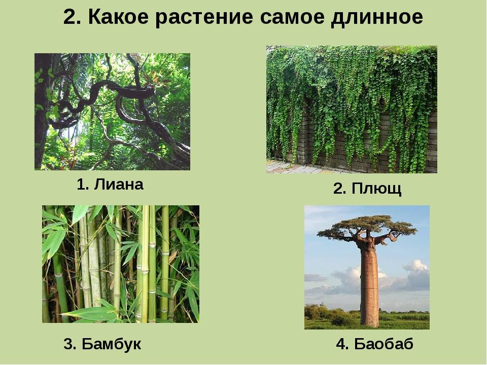 2. Какое растение самое длинное 1. Лиана 3. Бамбук 2. Плющ 4. Баобаб