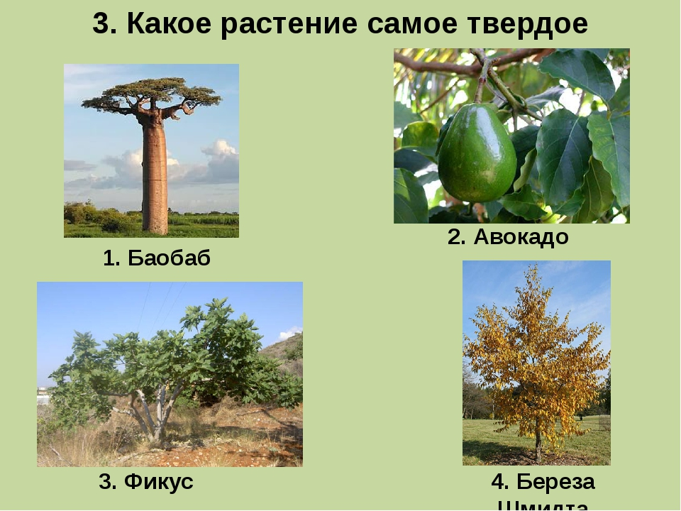 3. Какое растение самое твердое 1. Баобаб 3. Фикус 2. Авокадо 4. Береза Шмидта