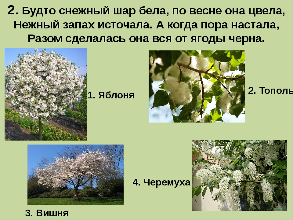 2. Будто снежный шар бела, по весне она цвела, Нежный запах источала. А когда...