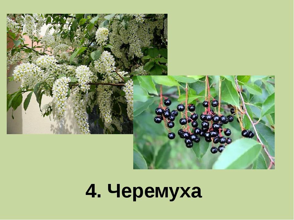 4. Черемуха