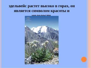 эдельвейс растет высоко в горах, он является символом красоты и молодости.