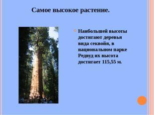 Самое высокое растение. Наибольшей высоты достигают деревья вида секвойя, в н