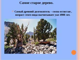 Самое старое дерево. Самый древний долгожитель – сосна остистая , возраст это