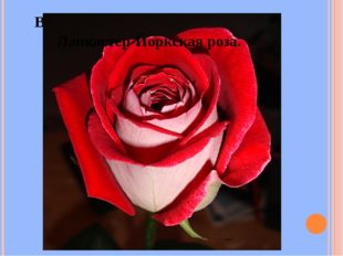 Война алой и белой розы в Англии. Ланкастер-Йоркская роза.